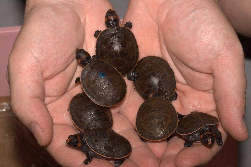Tennessee Aquarium cares for nursery full of tiny turtles - NOOGAtoday
