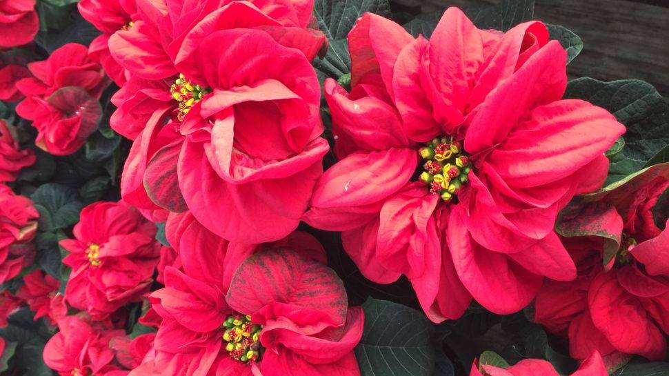 Not Your Grandma S Poinsettias New Varieties Of Traditional Plant