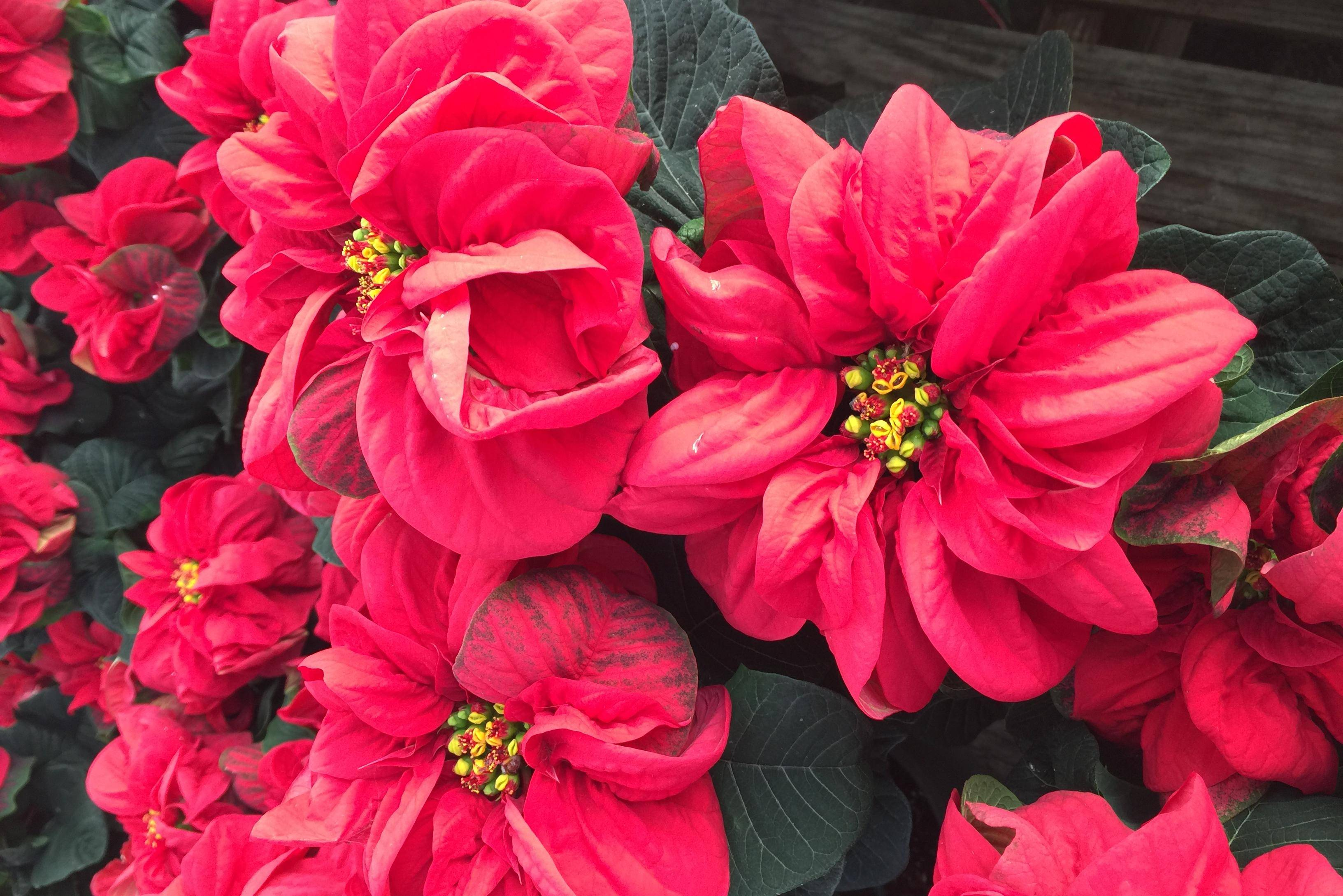 Not Your Grandma S Poinsettias New Varieties Of Traditional Plant Add Plethora Color Petal Options With Photos Noogatoday