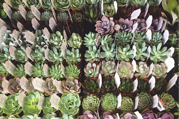 Succulents: Types, care, maintenance (with photos) - NOOGAtoday
