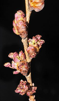 small or camouflaged flowers that are pink and budding from stems of an American elm tree
